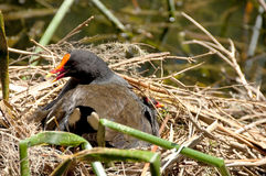 Dusky Moorhen Stock Photos