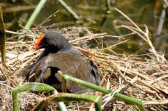 Dusky Moorhen. A dusky moorhen in her nest Stock Photos