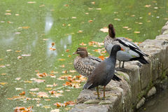 Dusky Moorhen bird, Australian wood ducks in Melbourne, Australia. Dusky Moorhen (Gallinula tenebrosa) bird with yellow-tipped red bill standing in front of Royalty Free Stock Photos