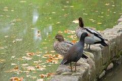 Dusky Moorhen bird, Australian wood ducks in Melbourne, Australia Royalty Free Stock Photos