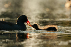 Dusky Moorhen chick Royalty Free Stock Photo