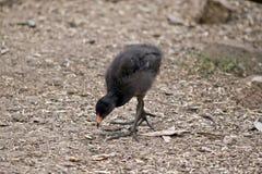 Dusky moorhen chick Stock Photo