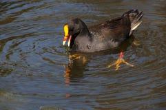 Dusky moorhen feeding in pond stock photo