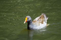 Dusky Moorhen (Gallinula Tenebrosa) Royalty Free Stock Images