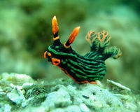Dusky Nembrotha Royalty Free Stock Images