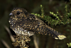 Dusky Nightjar 1. Dusky Nightjar (Caprimulgus saturatus) is a species of nightjar in the Caprimulgidae family. It is found in Costa Rica and Panama. Its natural Royalty Free Stock Images