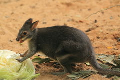 Dusky pademelon Royalty Free Stock Photography