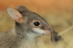 Dusky pademelon Royalty Free Stock Photo