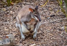 Dusky Pademelon - endangered stock photography