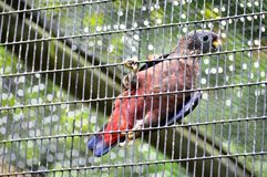 Dusky Parrot Royalty Free Stock Photo