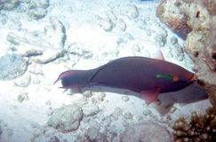Dusky Parrotfish Royalty Free Stock Photography