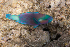 Dusky parrotfish is underwater Royalty Free Stock Photography