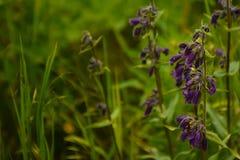 Dusky Penstemon Penstemon whippleanus Purple Wildflowers stock images