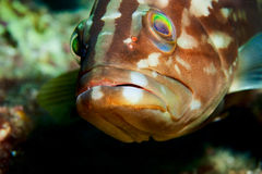 Dusky Perch (Grouper) Stock Image