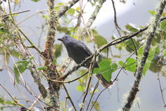 Dusky Piha. (Lipaugus fuscocinereus) in Ecuador royalty free stock photography