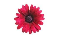 Dusky red Osteosprmum flower Stock Photography