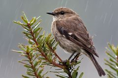 Dusky Robin - Melanodryas vittata endemic song bird from Tasmania, Australia, in the rain.  Stock Images