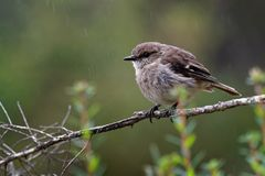 Dusky Robin - Melanodryas vittata endemic song bird from Tasmania, Australia, in the rain.  Royalty Free Stock Photos