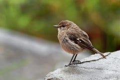 Dusky Robin - Melanodryas vittata endemic song bird from Tasmania, Australia, in the rain.  Royalty Free Stock Images