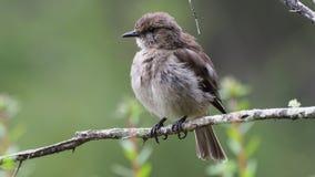 Dusky Robin - Melanodryas vittata endemic song bird from Tasmania, Australia, in the rain.  stock footage
