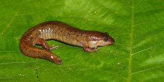 Dusky Salamander (Desmognathus conanti) Royalty Free Stock Photo