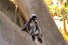 dusky semnopithecus obscurus обезьяны листьев стоковая фотография rf