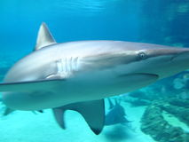 Shark in aquarium close-up. Closeup of a sleek Dusky Shark pulling turns in its sanctuary Royalty Free Stock Photos