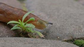 Dusky Slug Goes By stock video footage