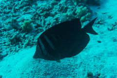 Dusky surgeonfish with unique black tropical fish swimming in the coral reef. Dusky surgeonfish with unique black tropical fish swimming in the stunning coral royalty free stock photo
