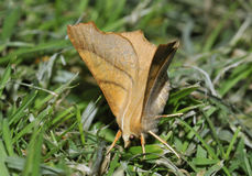 Dusky Thorn Moth Royalty Free Stock Image