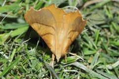 Dusky Thorn Moth Stock Photography