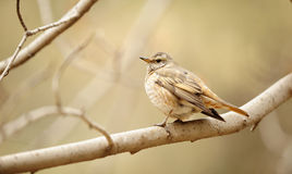 Dusky Thrush Royalty Free Stock Photography
