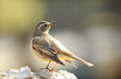 Dusky Thrush Stock Images