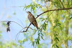 Dusky Thrush. The close-up of a Dusky Thrush stands on willow branch. Scientific name: Turdus naumanni stock image