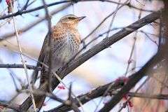 Dusky Thrush. The close-up of a Dusky Thrush stands in branches. Scientific name: Turdus naumanni Stock Photos