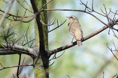 Dusky Thrush. The close-up of a Dusky Thrush stands on pine branch. Scientific name: Turdus naumanni stock photos