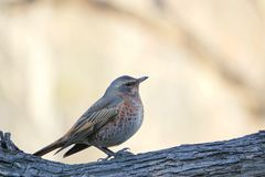 Dusky Thrush. The close-up of a Dusky Thrush stands on trunk. Scientific name: Turdus naumanni Stock Photos