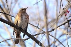 Dusky Thrush. A Dusky Thrush stands on winter branch. Scientific name: Turdus naumanni Stock Images