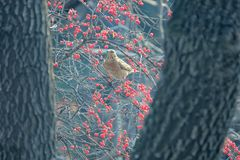 Dusky Thrush. A Dusky Thrush stands in winter branches of Honeysuckle. Scientific name: Turdus naumanni Stock Images