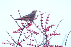 Dusky Thrush. A Dusky Thrush stands in winter branches of Honeysuckle. Scientific name: Turdus naumanni stock image