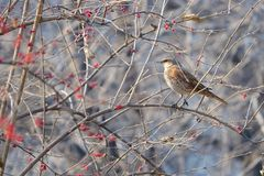 Dusky Thrush. A Dusky Thrush stands in winter branches. Scientific name: Turdus naumanni Stock Image