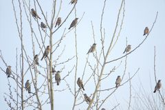 Dusky Thrush. A group of Dusky Thrush stands on winter branches. Scientific name: Turdus naumanni royalty free stock photography