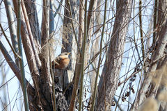 Dusky Thrush. A Dusky Thrush hides in branches. Scientific name: Turdus naumanni Stock Photos