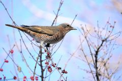 Dusky Thrush. A Dusky Thrush stands on winter branch of honeysuckle. Scientific name: Turdus naumanni Stock Photography
