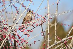 Dusky Thrush. A Dusky Thrush stands on winter branch of honeysuckle. Scientific name: Turdus naumanni Stock Images