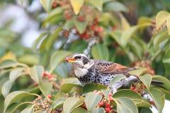 Dusky thrush. (Turdus naumanni eunomus) in Japan Stock Photo