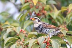 Dusky thrush. (Turdus naumanni eunomus) in Japan Royalty Free Stock Photography