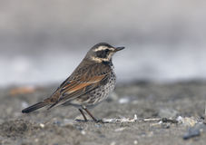 Dusky thrush, Turdus naumanni Stock Photography
