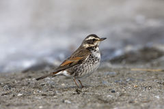 Dusky thrush, Turdus naumanni Royalty Free Stock Images