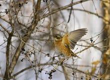 Dusky Thrush. Winter, Dusky Thrush in forest Stock Image